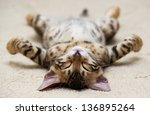 Stock photo the small british kitten sleeps 136895264