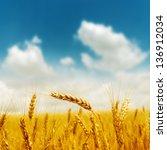 golden harvest under blue...   Shutterstock . vector #136912034