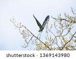 Great Blue Heron In Flight...