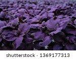 basil growing in greenhouse.... | Shutterstock . vector #1369177313