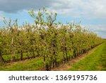 low apple trees in a dutch... | Shutterstock . vector #1369195736