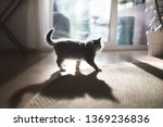 Stock photo back lit blue tabby maine coon kitten in the sunny living room in front of big window 1369236836
