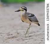 beautiful bird  great thick... | Shutterstock . vector #1369433786