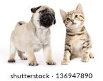 Stock photo pug puppy and kitten 136947890