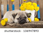 Stock photo pug puppy and kitten 136947893