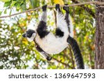 the black and white ruffed... | Shutterstock . vector #1369647593