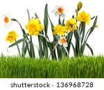 beautiful narcissus with green... | Shutterstock . vector #136968728