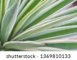 agave leaves close up.  | Shutterstock . vector #1369810133