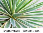 agave leaves close up.  | Shutterstock . vector #1369810136