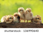 Group of babies chickens on...