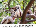 the coquerel's sifaka ... | Shutterstock . vector #1369950323