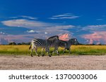 low angle view on burchell's... | Shutterstock . vector #1370003006