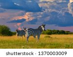 low angle view on burchell's... | Shutterstock . vector #1370003009