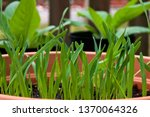 strain of grass known as... | Shutterstock . vector #1370064326
