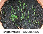 strain of grass known as... | Shutterstock . vector #1370064329