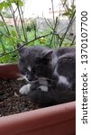 cat taking a nap. | Shutterstock . vector #1370107700