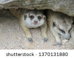 the suricata suricatta or... | Shutterstock . vector #1370131880