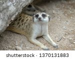 the suricata suricatta or... | Shutterstock . vector #1370131883