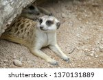 the suricata suricatta or... | Shutterstock . vector #1370131889