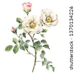 Stock photo illustration roses garden rose realistic isolated object on a white background for your design 1370134226
