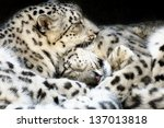 Snow Leopards Sleeping  - stock photo