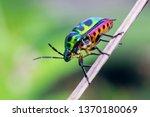 Beautiful Jewel Beetle. Jewel...