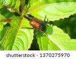 garden chafer  phyllopertha... | Shutterstock . vector #1370275970