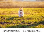 Stock photo cute red dog puppy corgi runs merrily on green grass in spring sunny park funny sticking out his 1370318753