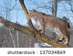 Bobcat  Lynx Rufus  In Tree  ...