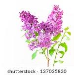 Lilac branch on light  background. - stock photo