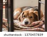 Beagle Dog Lying Under Dining...
