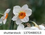 Small photo of Blossom of the small cupped narcissus sort Barret Browning