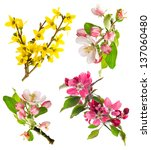 Stock photo set of spring flowers isolated on white background blossoms of apple tree cherry twig forsythia 137060480