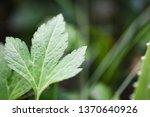 white mugwort leaves green for... | Shutterstock . vector #1370640926