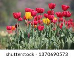 tulips in full bloom at tulip... | Shutterstock . vector #1370690573