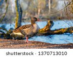 the wild greylag goose in the... | Shutterstock . vector #1370713010