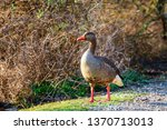 the wild greylag goose in the... | Shutterstock . vector #1370713013