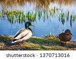 a pair of ducks  male and... | Shutterstock . vector #1370713016