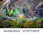 a female duck on the edge of... | Shutterstock . vector #1370713019