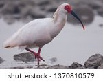 Endangered Crested Ibis ...