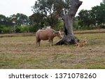 Thai Breed Water Buffalo  Pink...