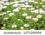 white chrysanthemum north pole... | Shutterstock . vector #1371200909