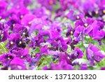purple pansy viola flower plant ... | Shutterstock . vector #1371201320