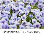 purple pansy viola flower plant ... | Shutterstock . vector #1371201593