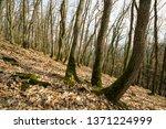 acorn  oak tree forest in... | Shutterstock . vector #1371224999