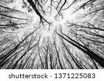 acorn  oak tree forest in... | Shutterstock . vector #1371225083