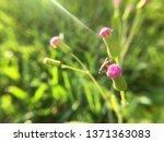 emilia sonchifolia or lilac... | Shutterstock . vector #1371363083