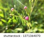 emilia sonchifolia or lilac... | Shutterstock . vector #1371364070