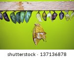 Chrysalis And Butterfly