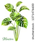 monstera deliciosa plant. palm... | Shutterstock .eps vector #1371476600